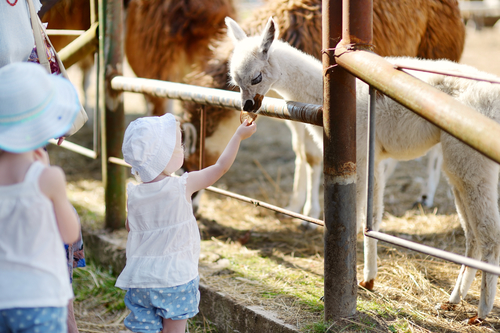 Photo of girls feeding Llama
